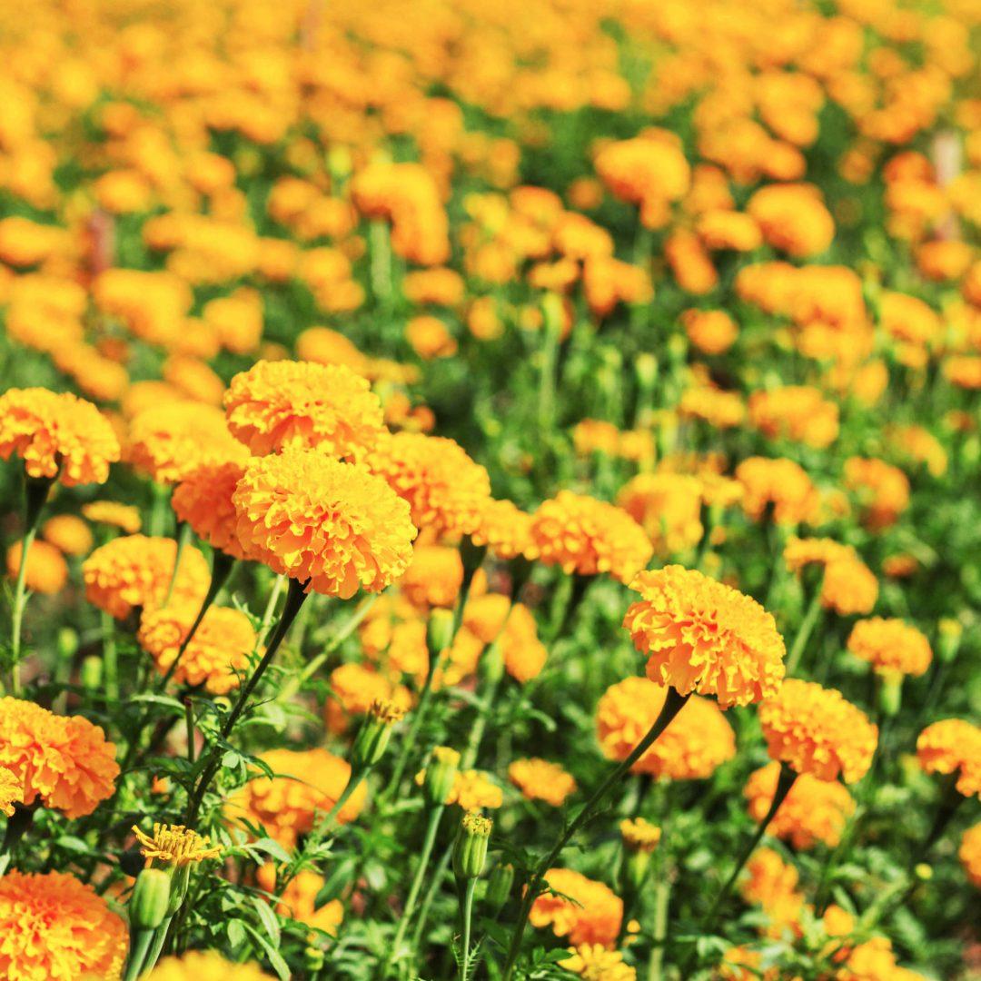 Marigolds in the garden of thailand.